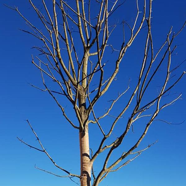piantumazione-quercia