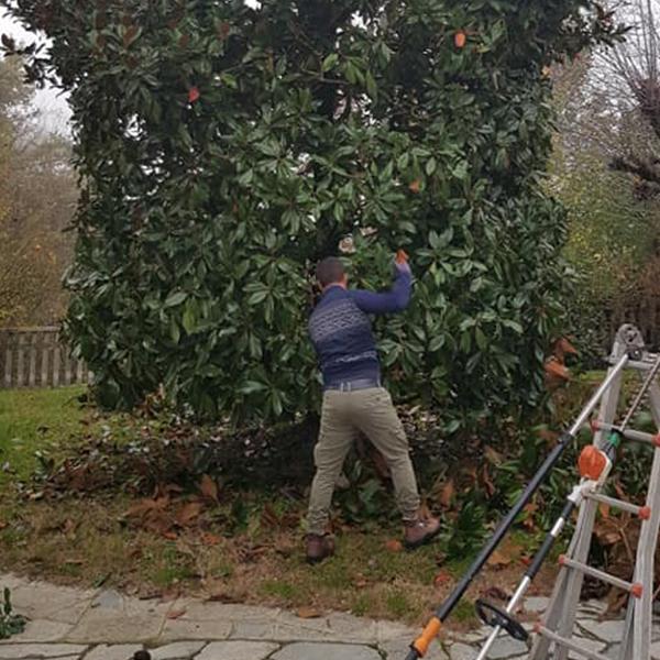 potatura-magnolia