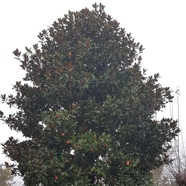 potatura alberi magnolia