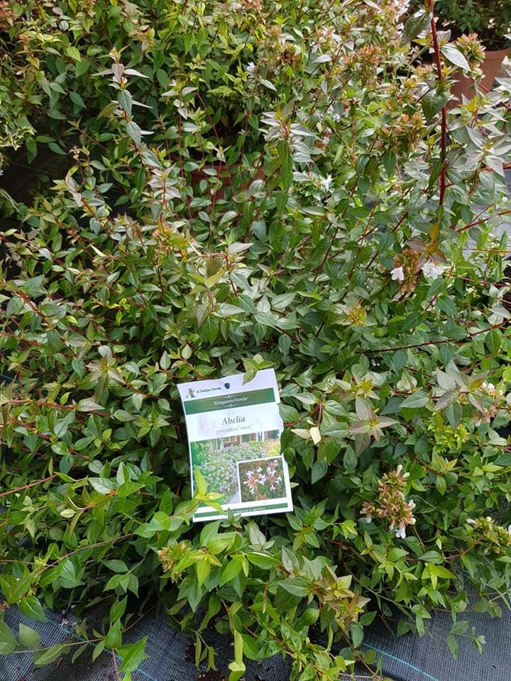 abelia-grandiflora-nana-sempreverde