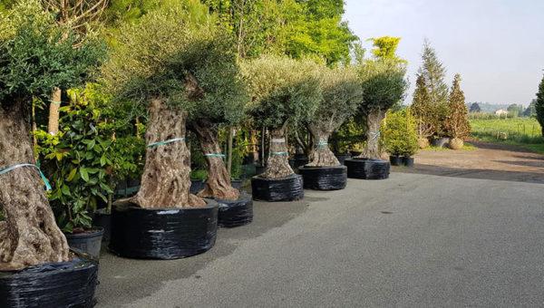 albero-da-frutto-sempreverde