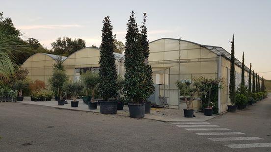 magnolia albero sempreverde
