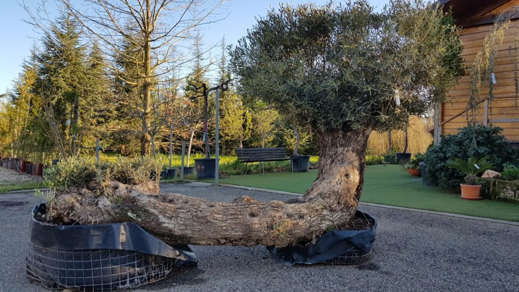 olivo-speciale alberi sempreverdi e da frutti